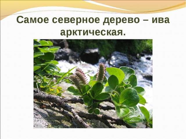 Самое северное дерево – ива арктическая.
