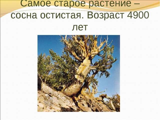 Самое старое растение – сосна остистая. Возраст 4900 лет