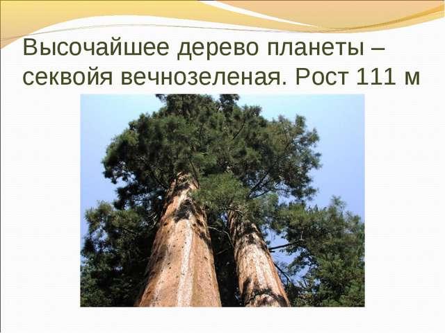Высочайшее дерево планеты – секвойя вечнозеленая. Рост 111 м