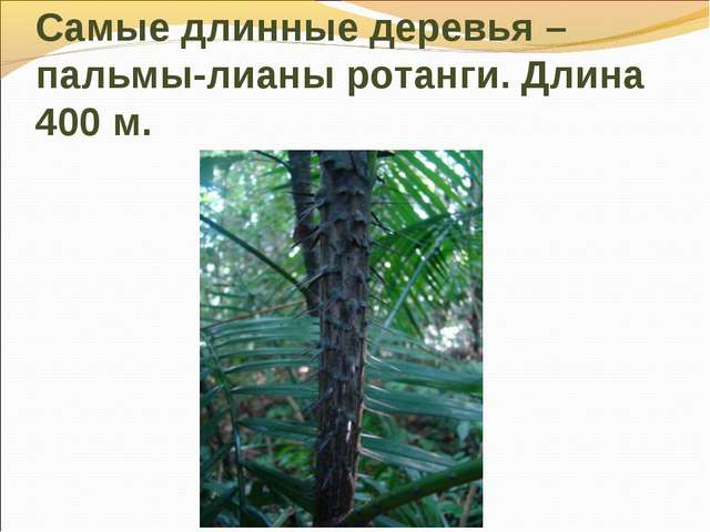 Самые длинные деревья –пальмы-лианы ротанги. Длина 400 м.