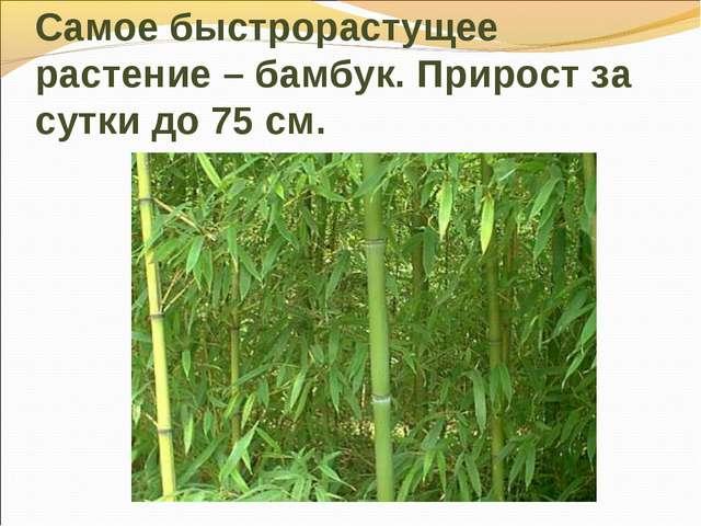 Самое быстрорастущее растение – бамбук. Прирост за сутки до 75 см.