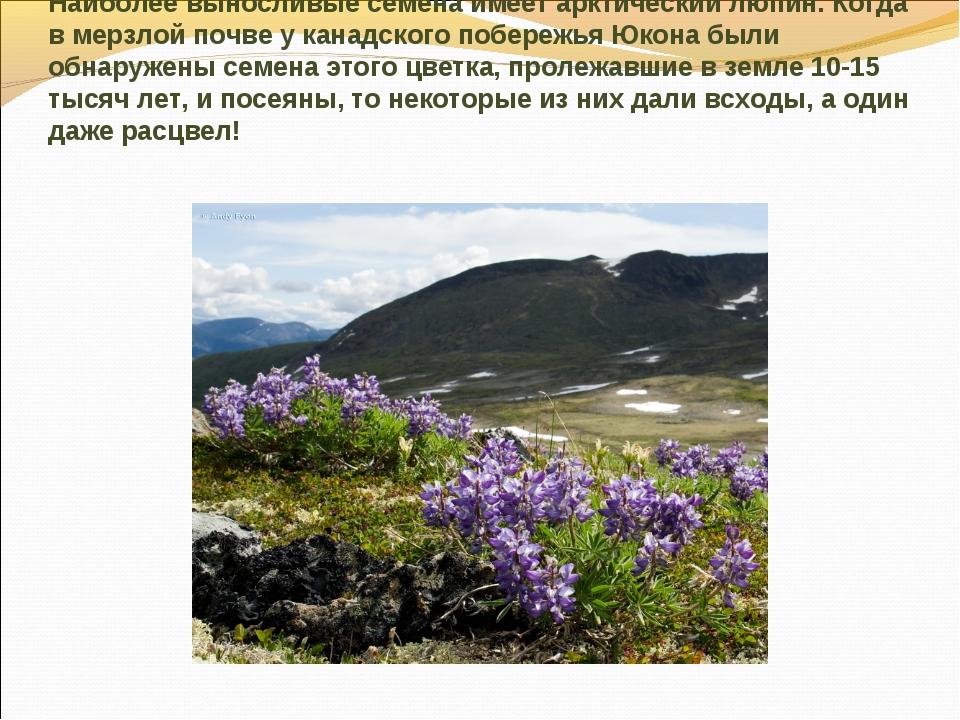 Наиболее выносливые семена имеет арктический люпин. Когда в мерзлой почве у к...