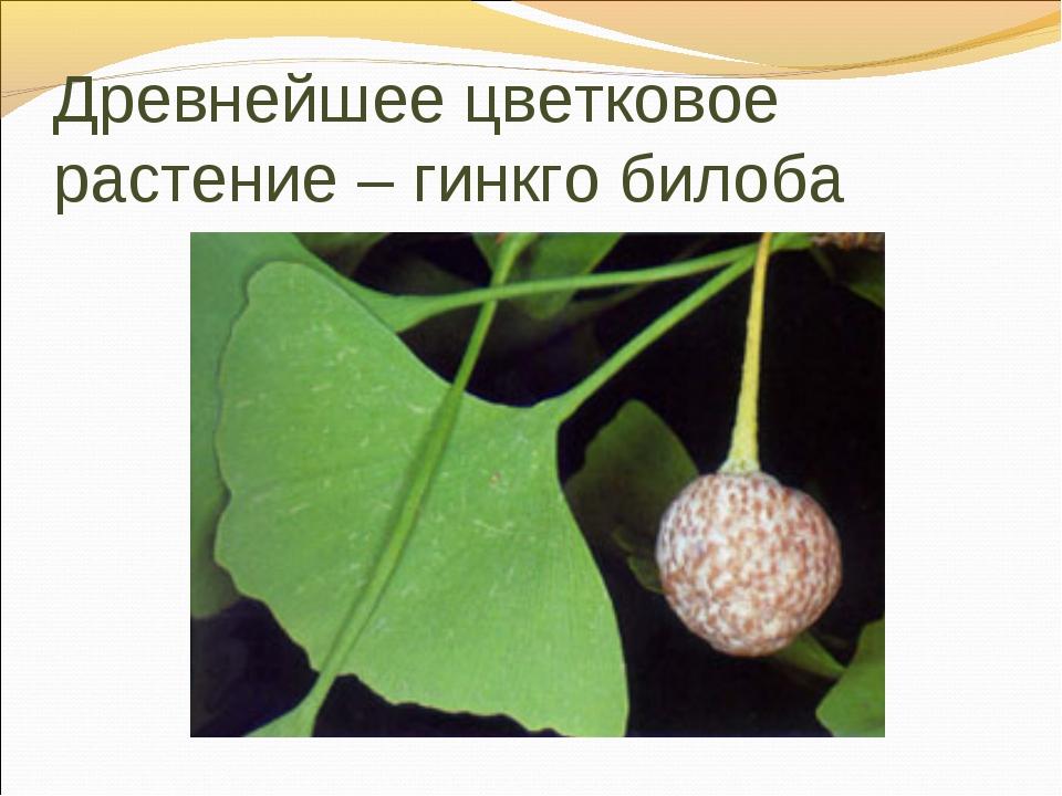 Древнейшее цветковое растение – гинкго билоба