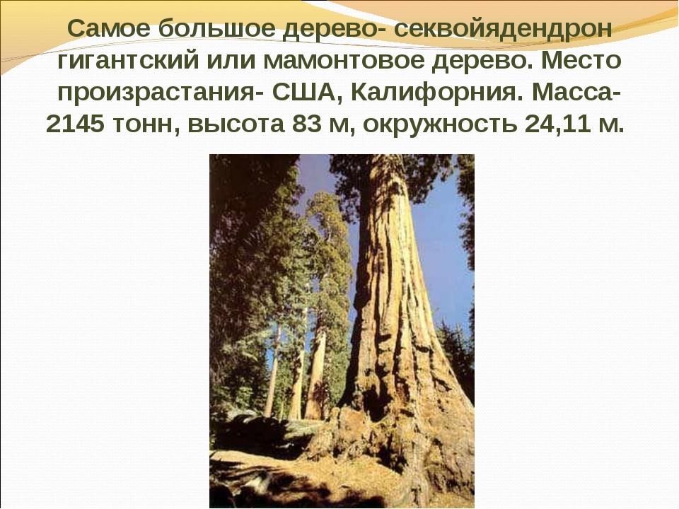 Самое большое дерево- секвойядендрон гигантский или мамонтовое дерево. Место...