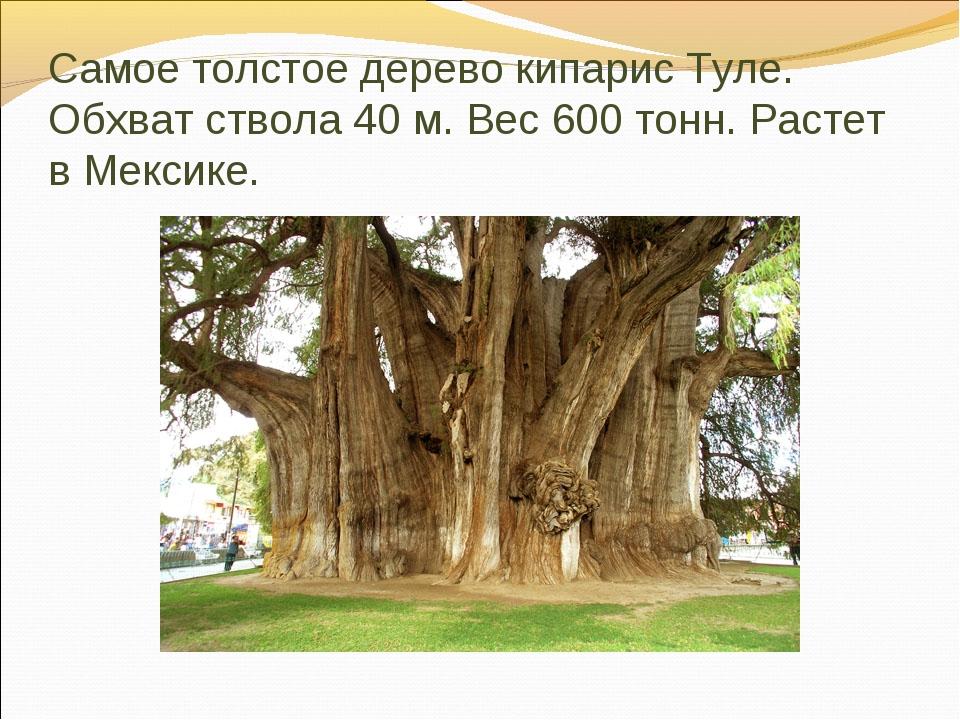 Самое толстое дерево кипарис Туле. Обхват ствола 40 м. Вес 600 тонн. Растет в...