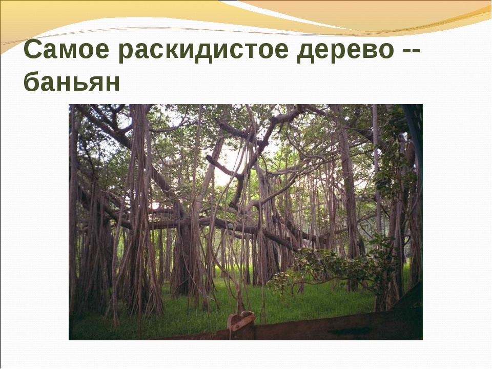 Самое раскидистое дерево -- баньян