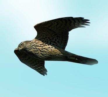 http://www.theanimalworld.ru/img/encycl/birds/big/jastreb_teterevjatnik.jpg