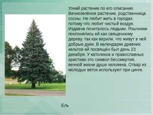 Узнай растение по его описанию. Вечнозелёное растение, родственница сосны. Не