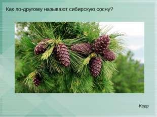 Как по-другому называют сибирскую сосну? Кедр