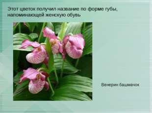 Этот цветок получил название по форме губы, напоминающей женскую обувь Венери
