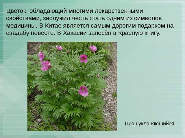 Цветок, обладающий многими лекарственными свойствами, заслужил честь стать од...
