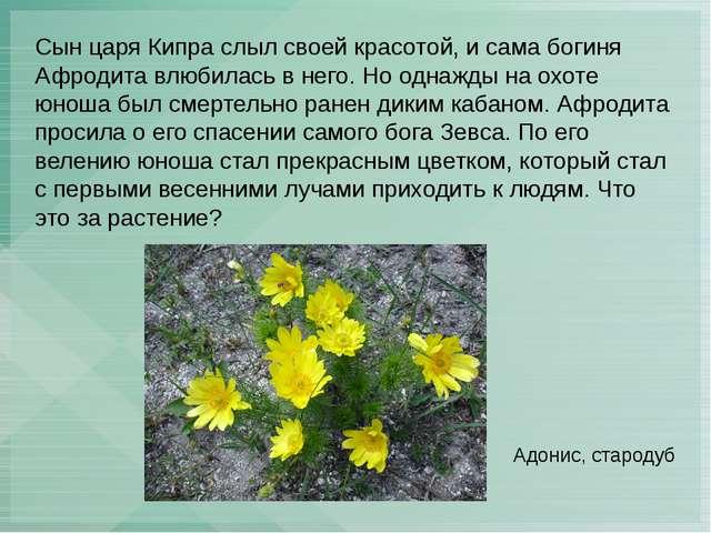 Сын царя Кипра слыл своей красотой, и сама богиня Афродита влюбилась в него....