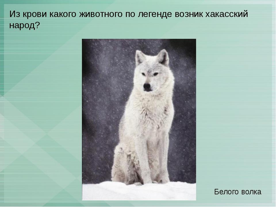 Из крови какого животного по легенде возник хакасский народ? Белого волка