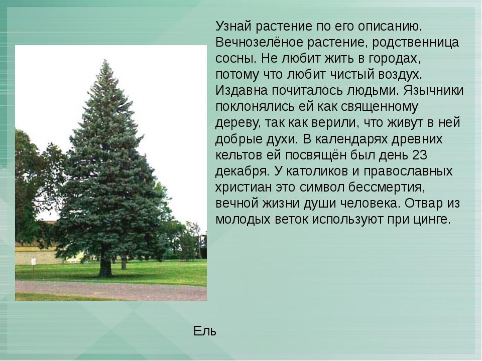 Узнай растение по его описанию. Вечнозелёное растение, родственница сосны. Не...