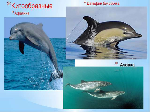 Азовка Китообразные Афалина Дельфин белобочка