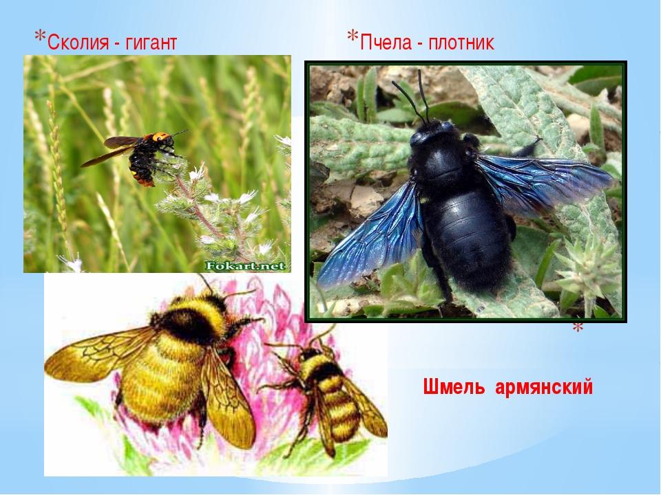 Шмель армянский Сколия - гигант Пчела - плотник