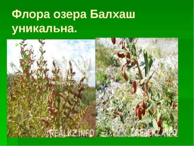 Флора озера Балхаш уникальна.