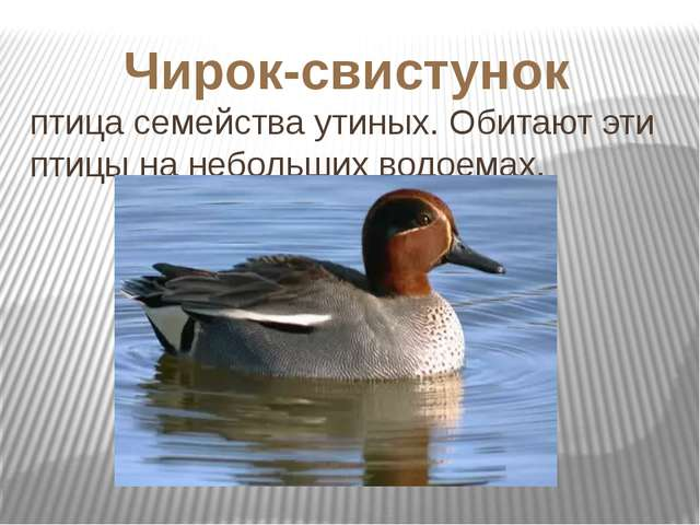 птица семейства утиных. Обитают эти птицы на небольших водоемах. Чирок-свисту...