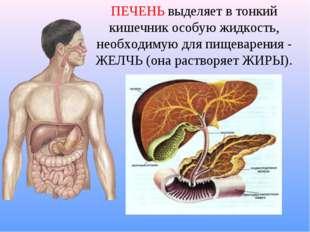 ПЕЧЕНЬ выделяет в тонкий кишечник особую жидкость, необходимую для пищеварени