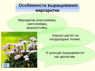 Маргаритка и георгин – многолетние цветочно-декоративные сложноцветные. Георг