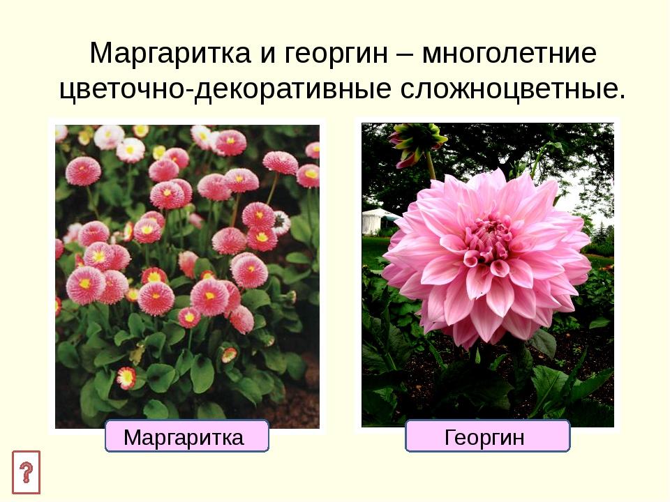 Размножение маргаритки Размножают маргаритки семенами и делением куста.