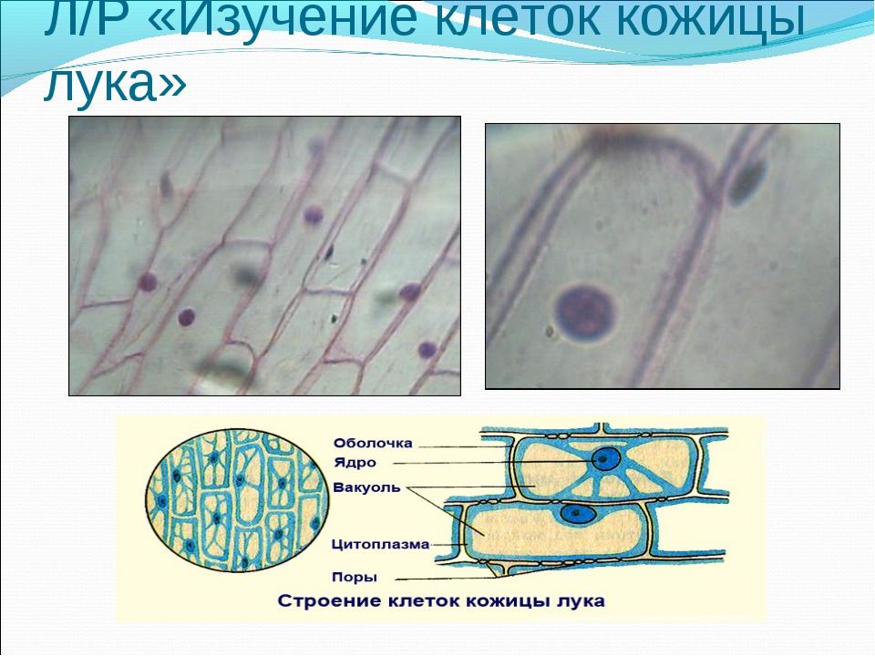 Л/Р «Изучение клеток кожицы лука»