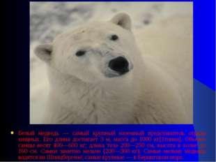 Белый медведь — самый крупный наземный представитель отряда хищных. Его длина