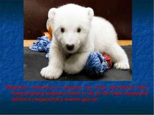 Медвежата появляются в середине или конце арктической зимы. Новорождённые мед