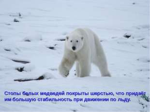 Стопы белых медведей покрыты шерстью, что придаёт им большую стабильность при