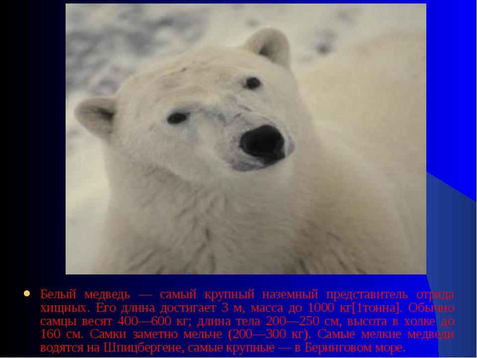 Белый медведь — самый крупный наземный представитель отряда хищных. Его длина...
