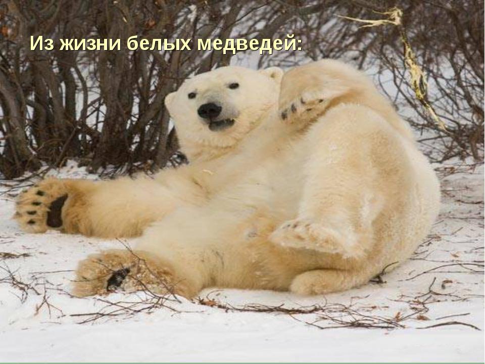 Из жизни белых медведей: