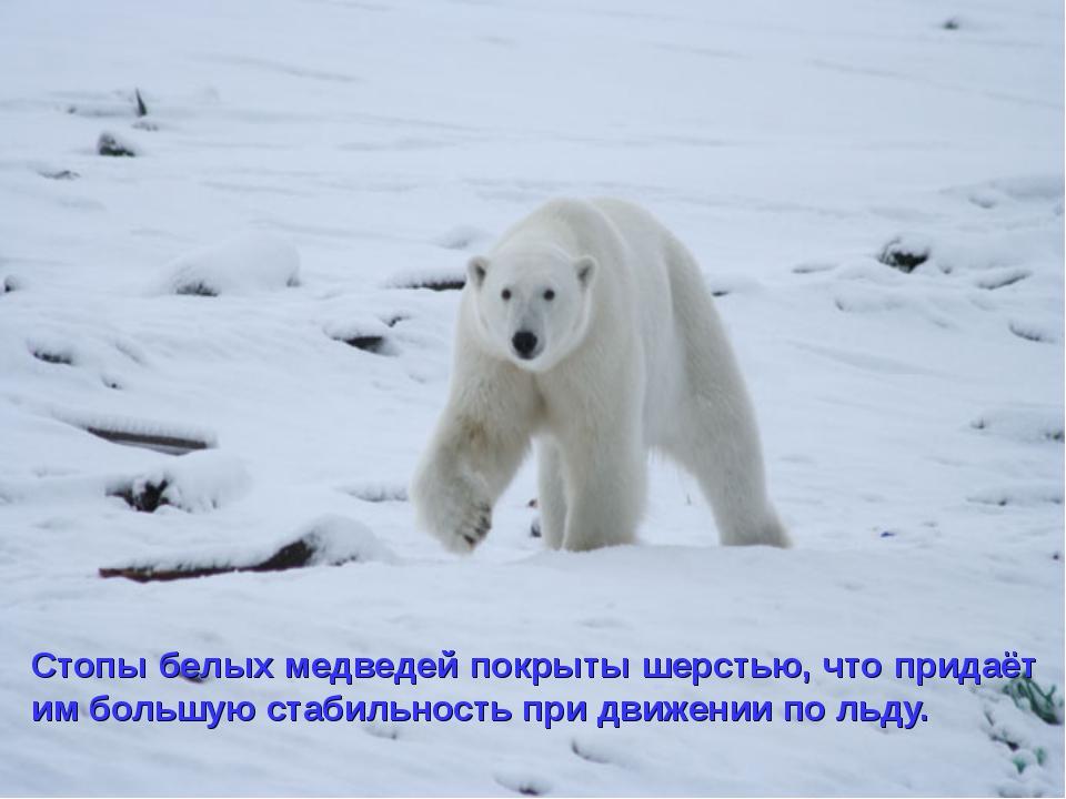 Стопы белых медведей покрыты шерстью, что придаёт им большую стабильность при...