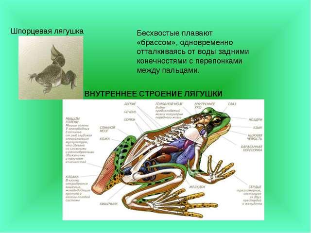 Шпорцевая лягушка Бесхвостые плавают «брассом», одновременно отталкиваясь от...