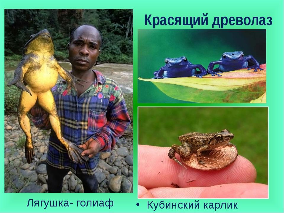 Красящий древолаз Лягушка- голиаф Кубинский карлик