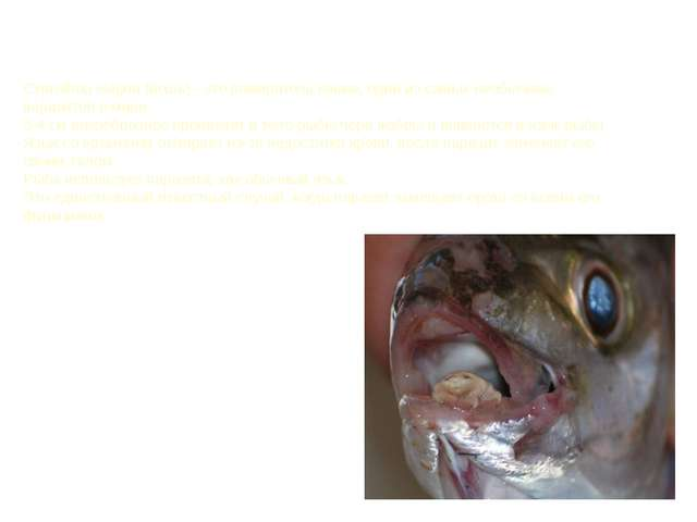 Cymothoa exigua (вошь) - это пожиратель языка, один из самых необычных параз...