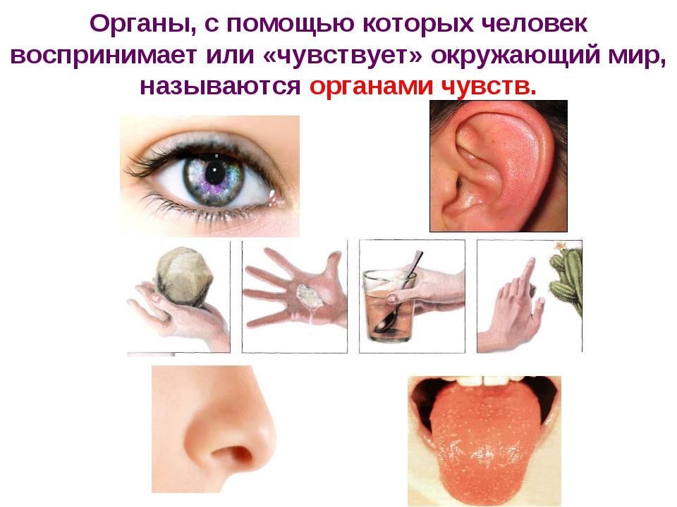 Органы, с помощью которых человек воспринимает или «чувствует» окружающий мир...