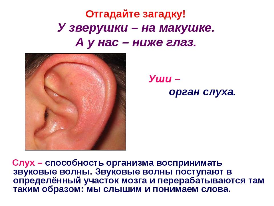 Отгадайте загадку! У зверушки – на макушке. А у нас – ниже глаз. Уши – орган...