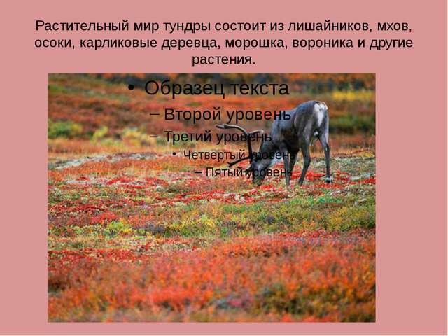 Растительный мир тундры состоит из лишайников, мхов, осоки, карликовые деревц...