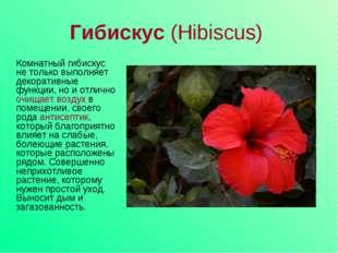 Гибискус (Hibiscus) Комнатный гибискус не только выполняет декоративные функц