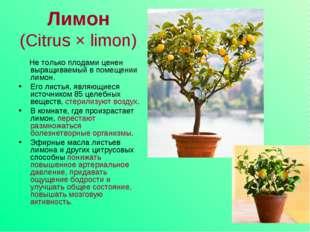 Лимон (Citrus × limon) Не только плодами ценен выращиваемый в помещении лимон