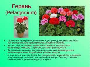 Герань (Pelargonium) Герань или пеларгония, выполняет функцию «домашнего докт