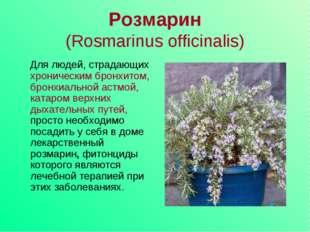 Розмарин (Rosmarinus officinalis) Для людей, страдающих хроническим бронхитом