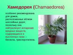 Хамедорея (Chamaedorea) особенно рекомендована для домов, расположенных вблиз