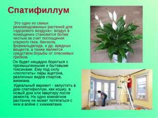 Спатифиллум Это одно из самых рекомендованных растений для «здорового воздуха