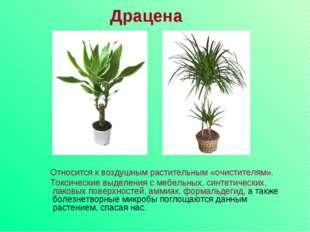 Драцена Относится к воздушным растительным «очистителям». Токсические выделен