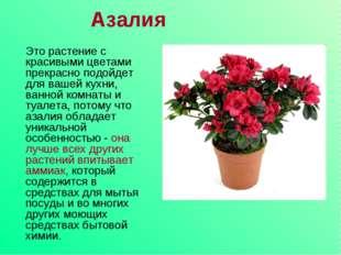 Азалия Это растение с красивыми цветами прекрасно подойдет для вашей кухни, в