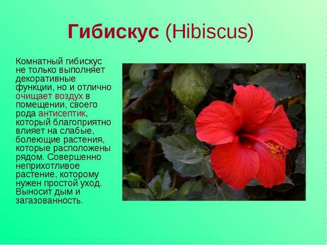 Гибискус (Hibiscus) Комнатный гибискус не только выполняет декоративные функц...