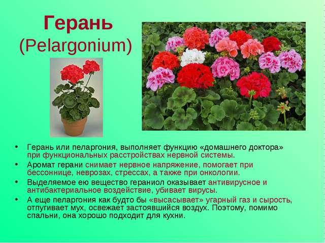 Герань (Pelargonium) Герань или пеларгония, выполняет функцию «домашнего докт...