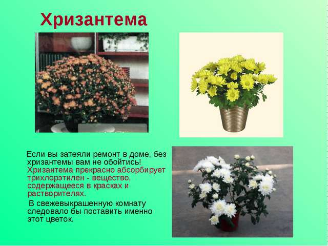 Хризантема Если вы затеяли ремонт в доме, без хризантемы вам не обойтись! Хри...