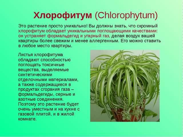 Хлорофитум (Chlorophytum) Листья хлорофитума обладают способностью поглощать...